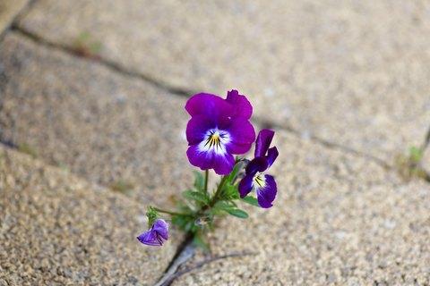Flower flourishing through a crack in the ground